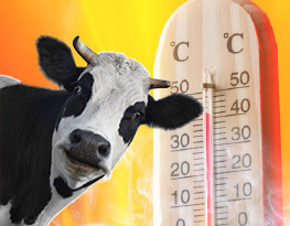 Prevent heat stress in cows
